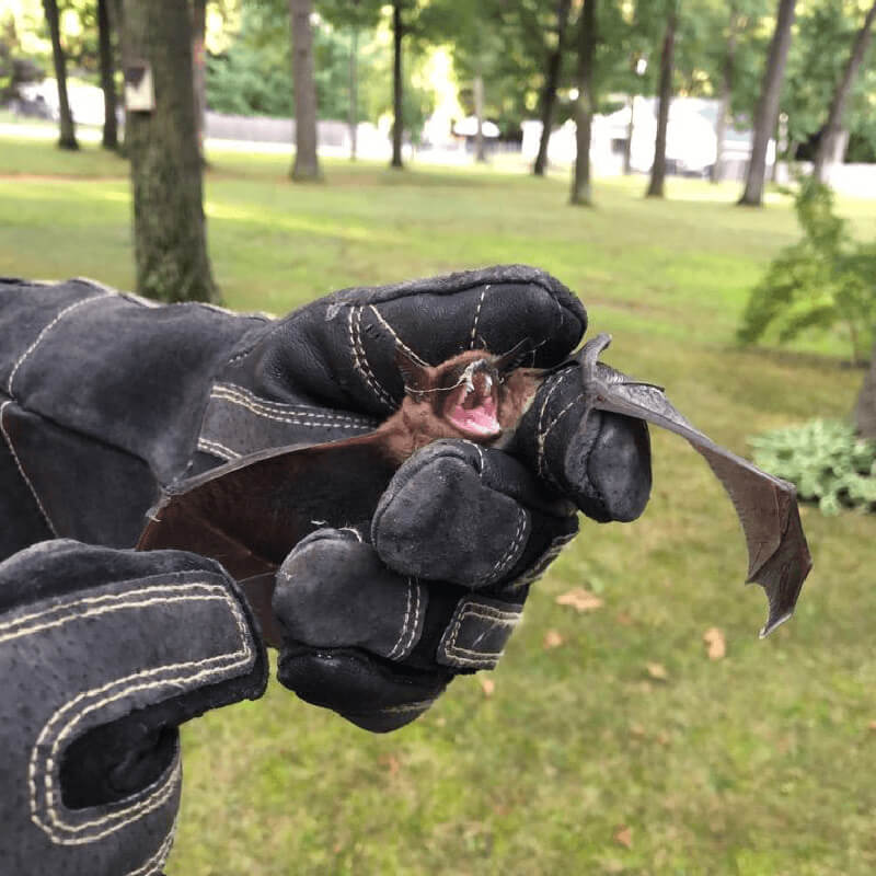 A bat from Bat Removal and Exclusion Job in Muskegon