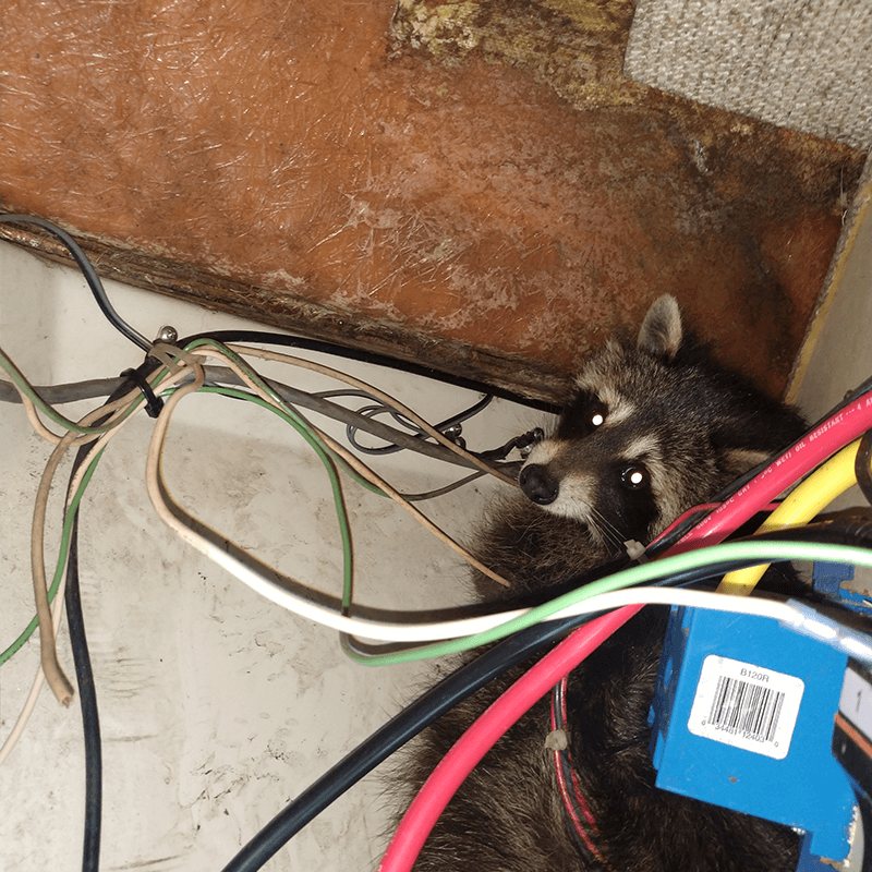 Nuisance racoon removal and exclusion